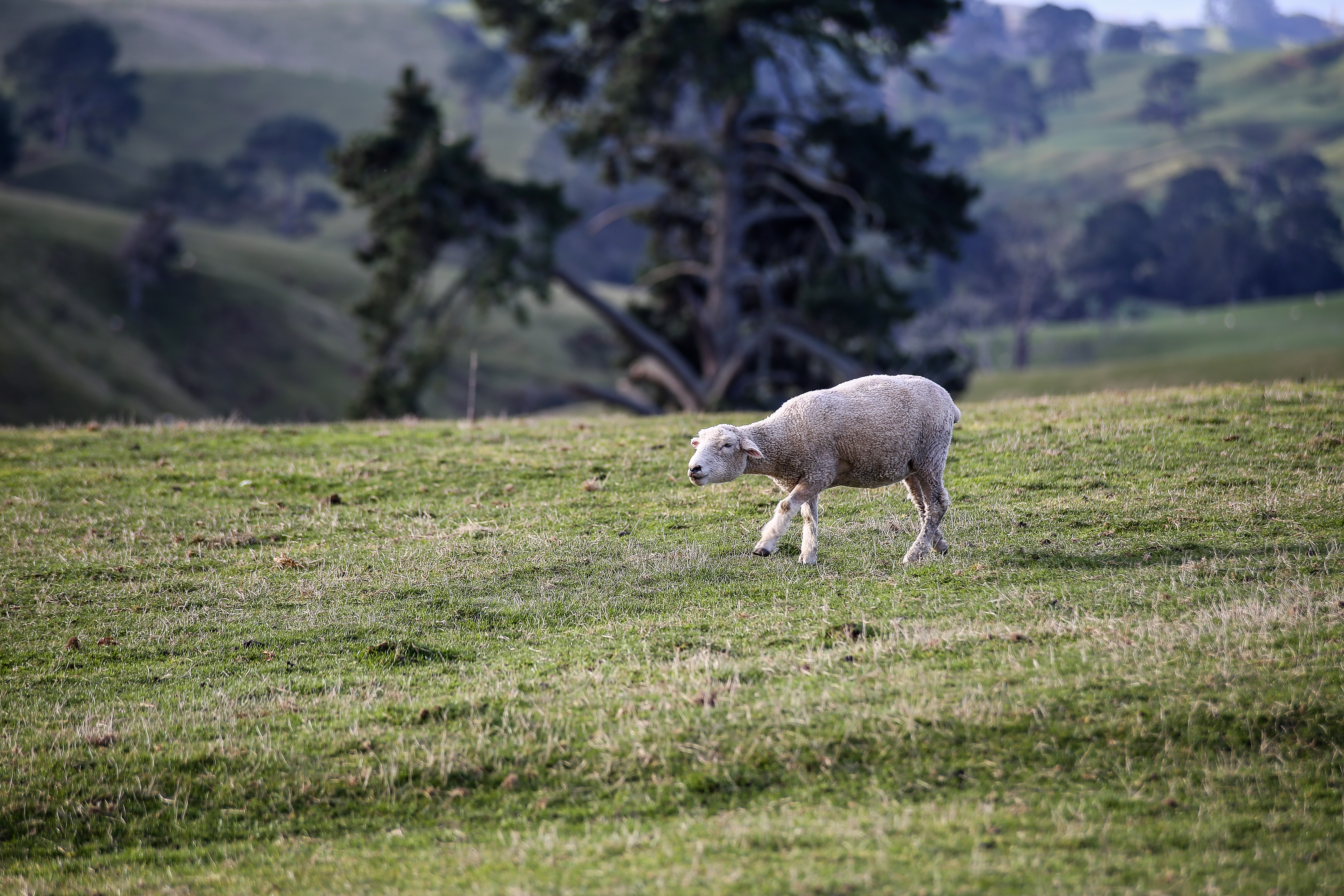 Hustendes Schaf